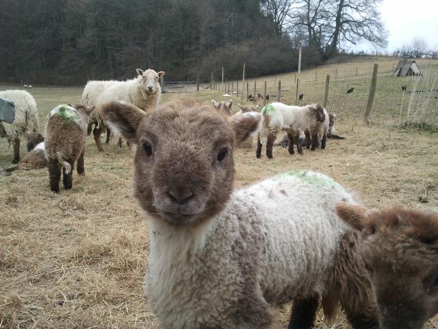 Hill Radnor lamb 2013 Hopesay Glebe Farm organic smallholding