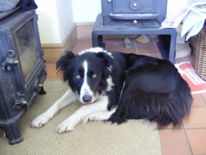 Shiv the sheepdog first picture Sep 12